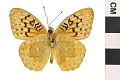 View Clemence's Fritillary digital asset number 2