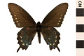 View Pipevine Swallowtail digital asset number 0