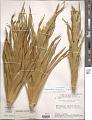 View Paepalanthus chiquitensis Herzog digital asset number 1