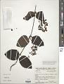 View Stigmaphyllon blanchetii C.E. Anderson digital asset number 1