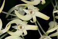 View Dendrobium speciosum Sm. digital asset number 3
