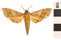 View Azalea Sphinx, Azalea Sphinx Moth digital asset number 0