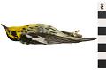 View Blackburnian Warbler, Blackburnian Warbler digital asset number 0
