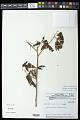 View Allophylus quercifolius (Mart.) Radlk. digital asset number 0
