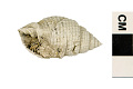 View Nutmeg Shell digital asset number 1