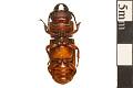 View Pole Borer, Longhorned Beetle digital asset number 1