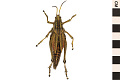 View Eastern Lubber Grasshopper digital asset number 0