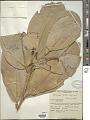 View Mammea ochrocarpus (Raf.) Kosterm. digital asset number 1