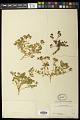 View Euphorbia macropus (Klotzsch & Garcke) Boiss. digital asset number 0
