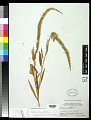 View Celosia argentea L. digital asset number 0