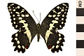 View Citrus Swallowtail, Orange Dog digital asset number 0