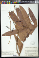 View Rhytidanthera regalis R.E. Schult. digital asset number 0