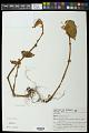 View Begonia leptotricha C. DC. digital asset number 0