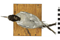 View Common Tern digital asset number 11