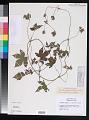 View Humulus japonicus Siebold & Zucc. digital asset number 0