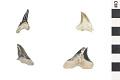 View Fossil Shark, Weasel shark, Snaggletooth shark digital asset number 0
