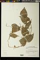 View Dioscorea piperifolia Bonpl. ex Humb. & Willd. digital asset number 0