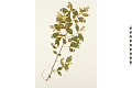 View Common Chinese Privet digital asset number 4