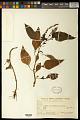 View Celosia grandiflora Moq. digital asset number 0
