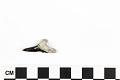 View Fossil Shark, Weasel shark, Snaggletooth shark digital asset number 7