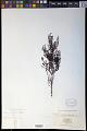 View Thesium ericaefolium A. DC. digital asset number 0