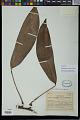 View Rhaphidophora africana N.E. Br. digital asset number 0