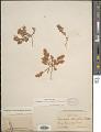 View Euphorbia indivisa (Engelm.) Tidestr. digital asset number 1