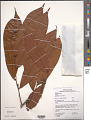 View Fusaea longifolia (Aubl.) Saff. digital asset number 1
