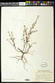 View Euphorbia garberi Engelm. ex Chapm. digital asset number 0