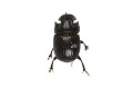 View Scarab Beetle, Rhinocercos beetle digital asset number 0