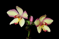View Spathoglottis 'Penang Beauty' digital asset number 2