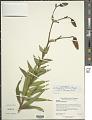 View Lilium lancifolium Thunb. digital asset number 2