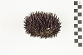 View Purpled-spined Sea Urchin digital asset number 3