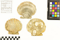 View Fossil Scallop, Scallop digital asset number 3