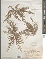 View Euphorbia laredana Millsp. digital asset number 1