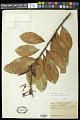 View Souroubea guianensis var. amazonica (Mart.) Wittm. digital asset number 0