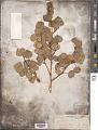 View Populus tremuloides ? Michx. digital asset number 1