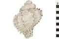 View Murex Shell, Fossil shell digital asset number 5