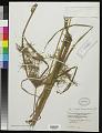 View Cyperus distans L. f. digital asset number 0