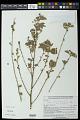 View Waltheria petiolata K. Schum. digital asset number 0