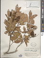 View Weinmannia affinis A. Gray in Wilkes digital asset number 1