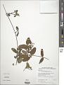 View Stigmaphyllon emarginatum (Cav.) A. Juss. digital asset number 1