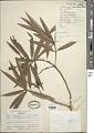 View Podocarpus affinis Seem. digital asset number 1