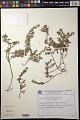 View Euphorbia dioeca Kunth digital asset number 0