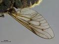 View Hybomitra stigmoptera fuji digital asset number 3
