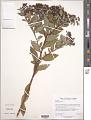 View Spiraea japonica L. f. digital asset number 2