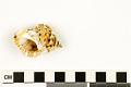 View Frilled Frog Snail, Frilled Frog Shell digital asset number 3