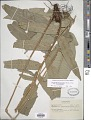 View Cyclodium meniscioides (Willd.) C. Presl digital asset number 1
