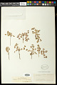 View Euphorbia fendleri Torr. & A. Gray digital asset number 0