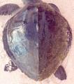 View Lepidochelys olivacea digital asset number 3